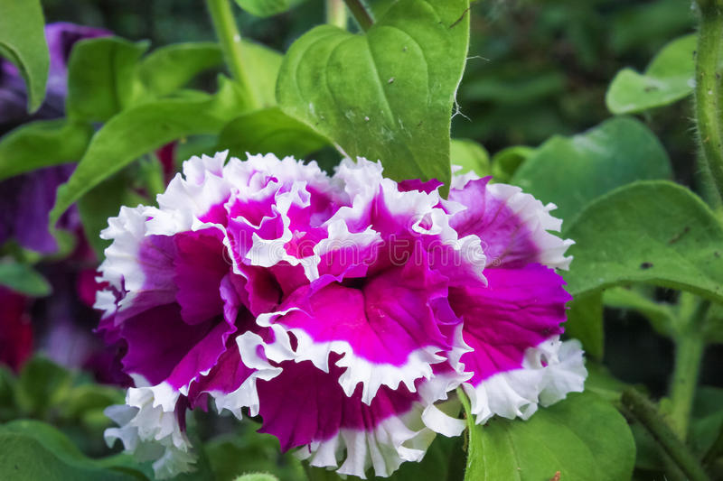 Purple petunia flower and green leaves royalty free stock image