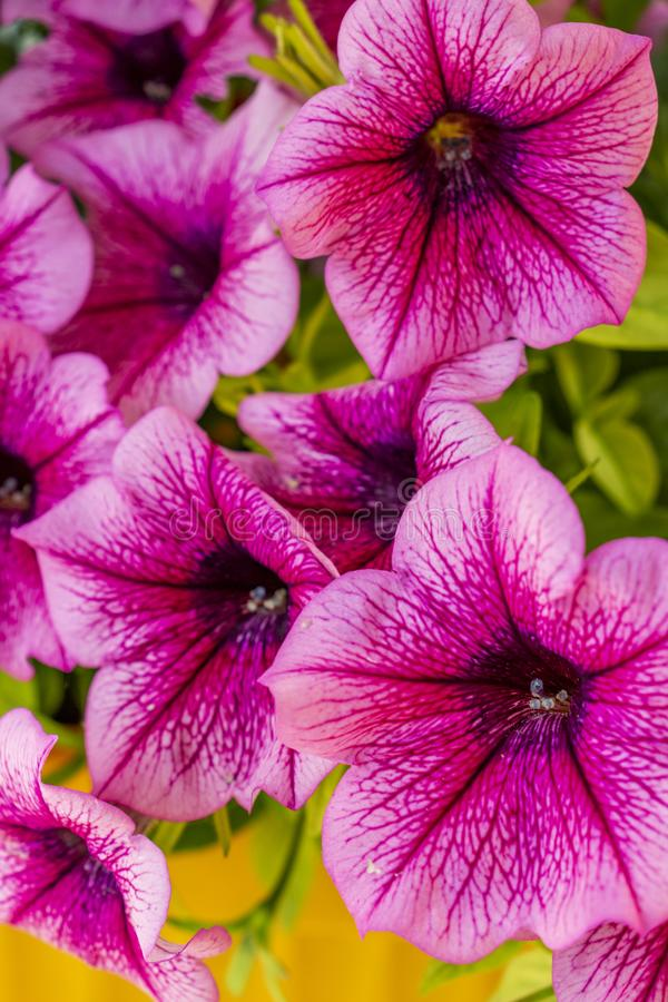 Purple Petunia veined flowers on natural green leaves background royalty free stock images