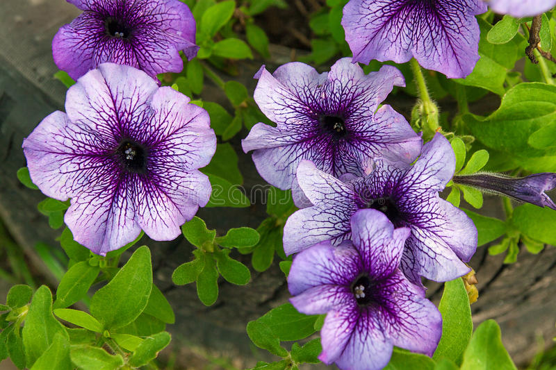 Purple petunias on the flower bed. Close up view lots of purple stock images
