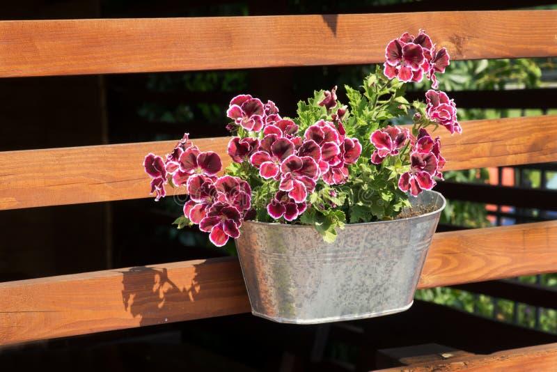Purple petunias royalty free stock images