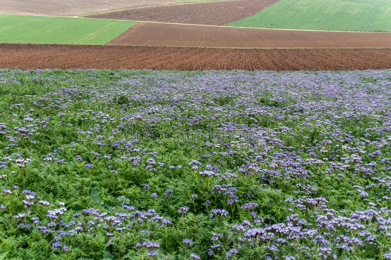 Fields of purple and green phacelia flowers and farm fields and acres in late autumn in the hills of northeast Switzerland stock photography