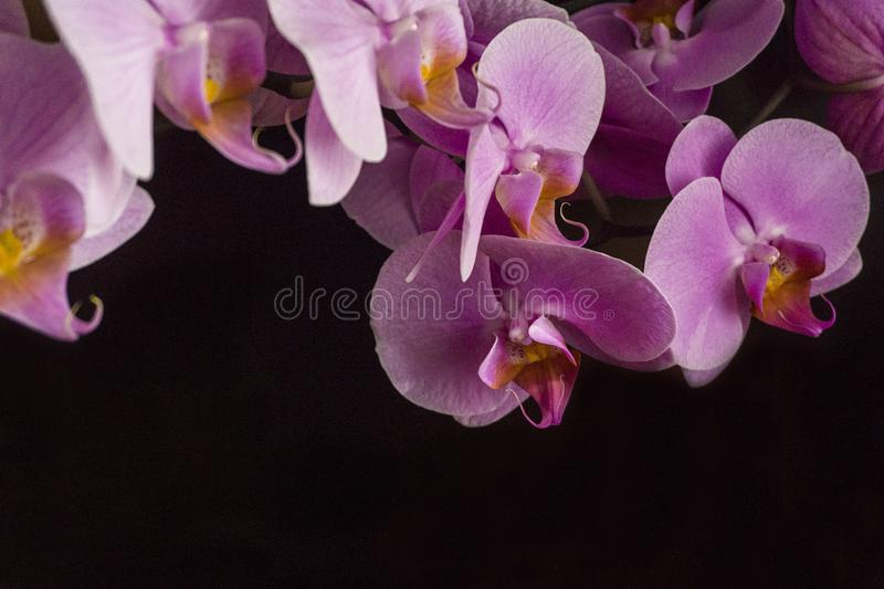 Purple Phalaenopsis. Close up Real and Fresh Purple orchids on a black background for background usage.  stock image