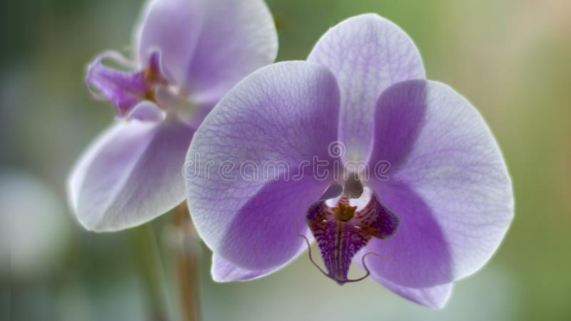 Purple phalaenopsis orchid flowers macro, blurred background, in interior or open area royalty free stock photography