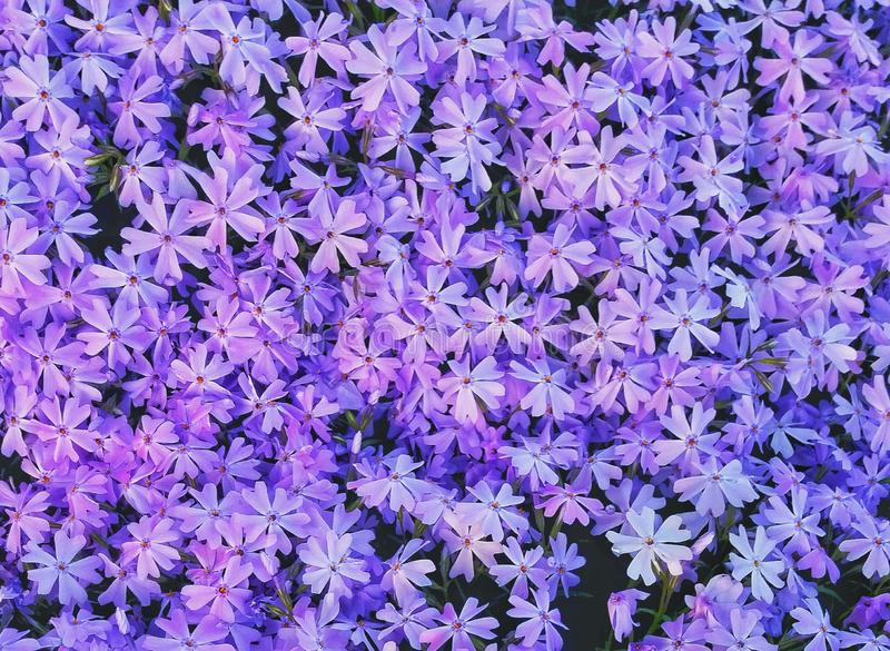 Purple phlox on the flowerbed royalty free stock photography