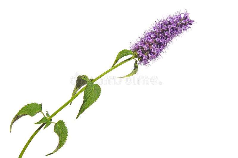 Purple pink blue flower cluster bloom of Agastache garden herb licorice liquorice  isolated on white royalty free stock photos
