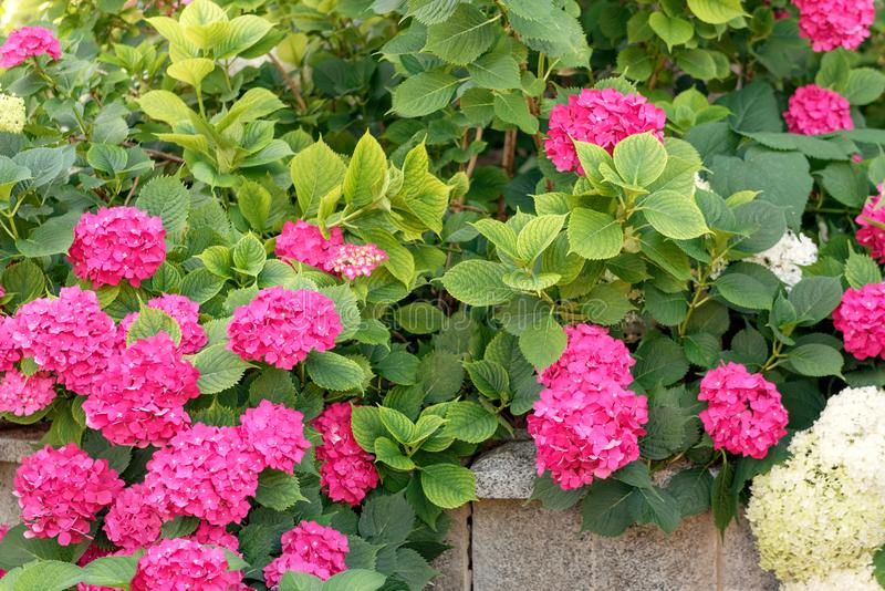 Purple, Pink, Blue And White Hydrangea Bushes In A Garden. Stock ...
