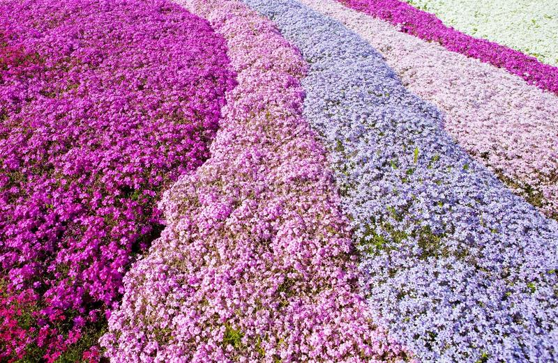 Purple, pink carpet of flowers. stock photography