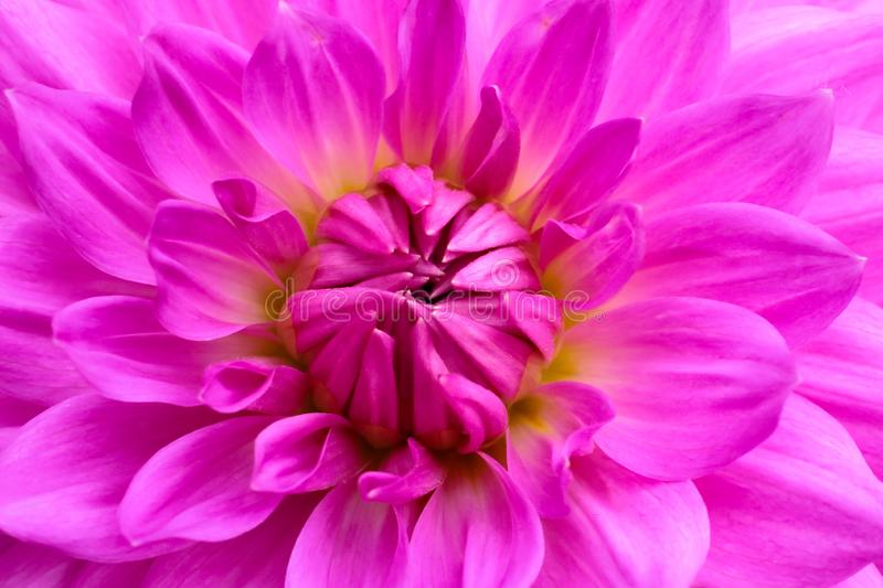 Purple pink colourful dahlia flower macro photo with intense vivid colors beautiful fresh blossoming dahlia flower head details. Purple pink colourful dahlia royalty free stock images