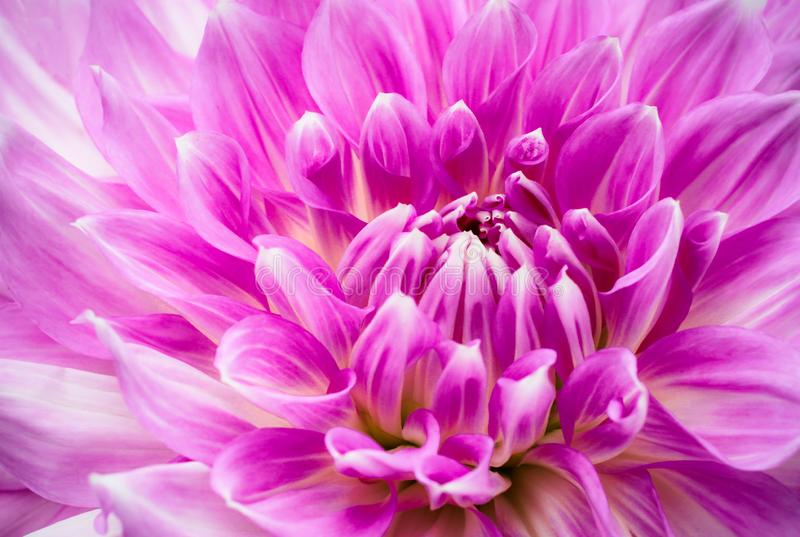 Purple pink colourful dahlia flower macro photo with intense vivid colours of beautiful fresh blossoming dahlia flower head detail royalty free stock photos