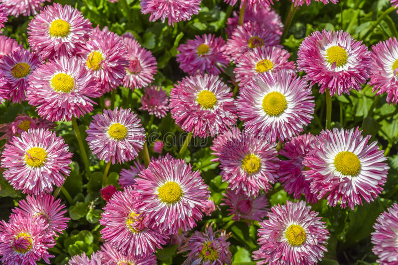 Purple, pink daisy flowers. Background of colorful purple, pink with bright yellow centers, daisy flowers in bloom on green grass. Daisies (Leucanthemum vulgare stock photo