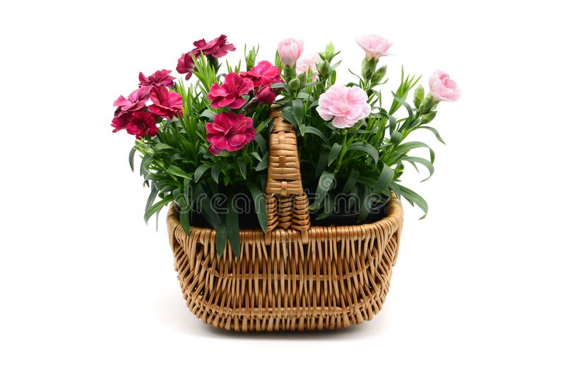 Purple pink dianthus flower in basket on white backgrou stock images