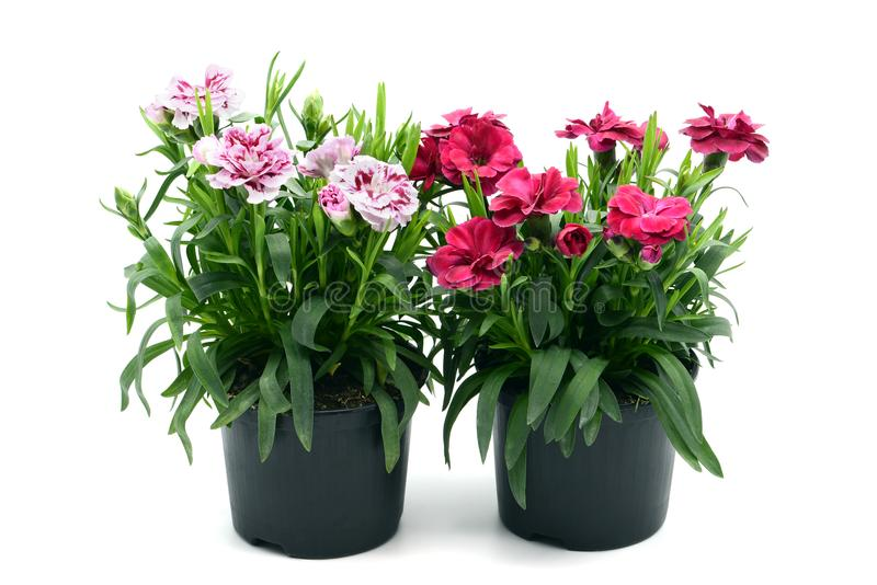purple pink dianthus flower in flowerpot. potted on white isolated background stock photos