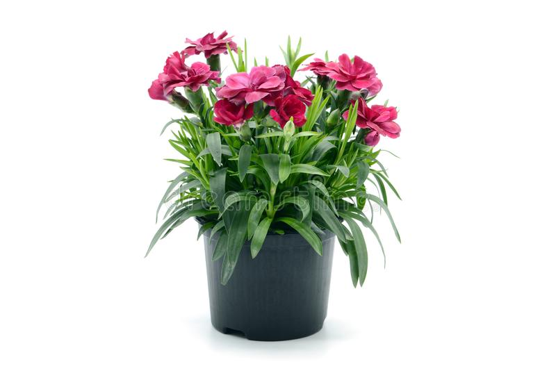 purple pink dianthus flower in flowerpot. potted on white isolated background stock images