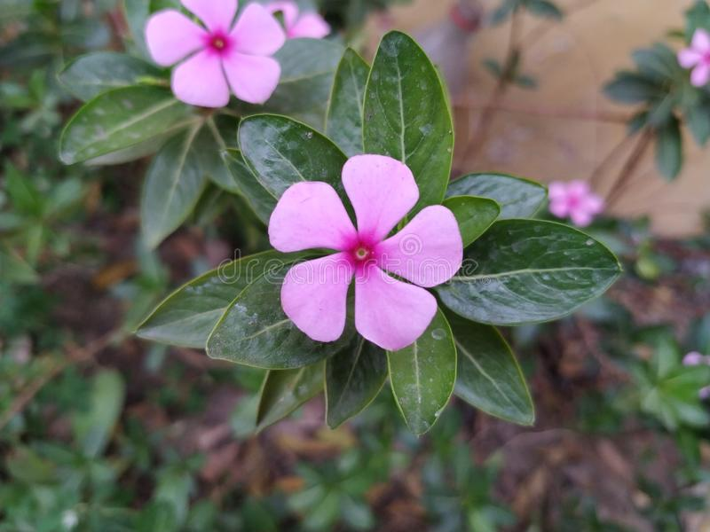 Purple pink flower named Madagascar periwinkle royalty free stock images