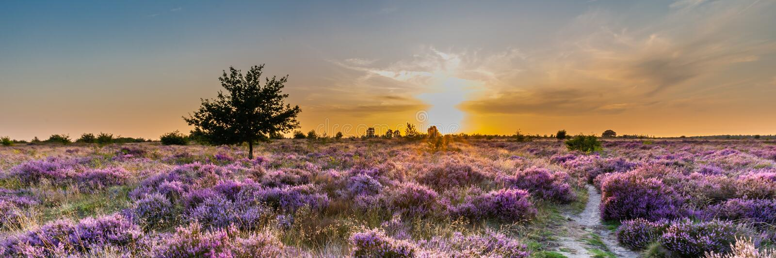 Ginkel heath Ede in bloom. Purple pink heather in bloom Ginkel Heath Ede in the Netherlands. Famous as dropping zone for the soldiers during WOII operation stock photo