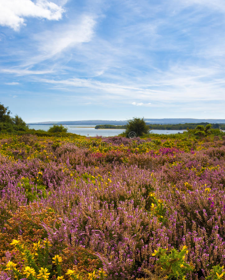 Purple and pink heather on Dorset heathland near Poole Harbour royalty free stock photo