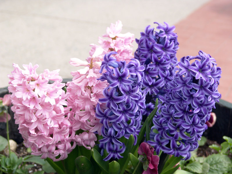 Purple and Pink Hyacinth royalty free stock image