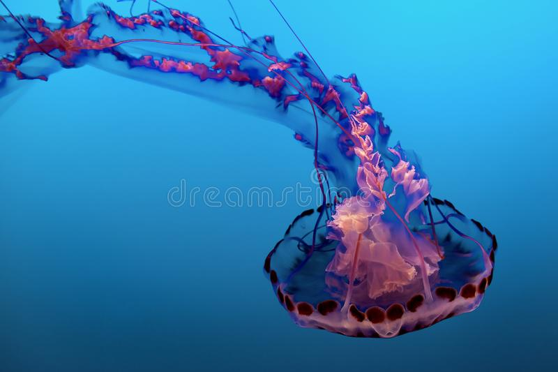 Purple and Pink Jelly Fish stock photography