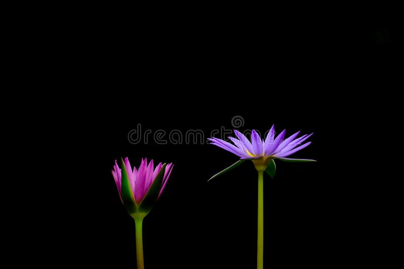 Purple and pink lotus flower. Purple and pink lotus flower isolated on black background stock photos