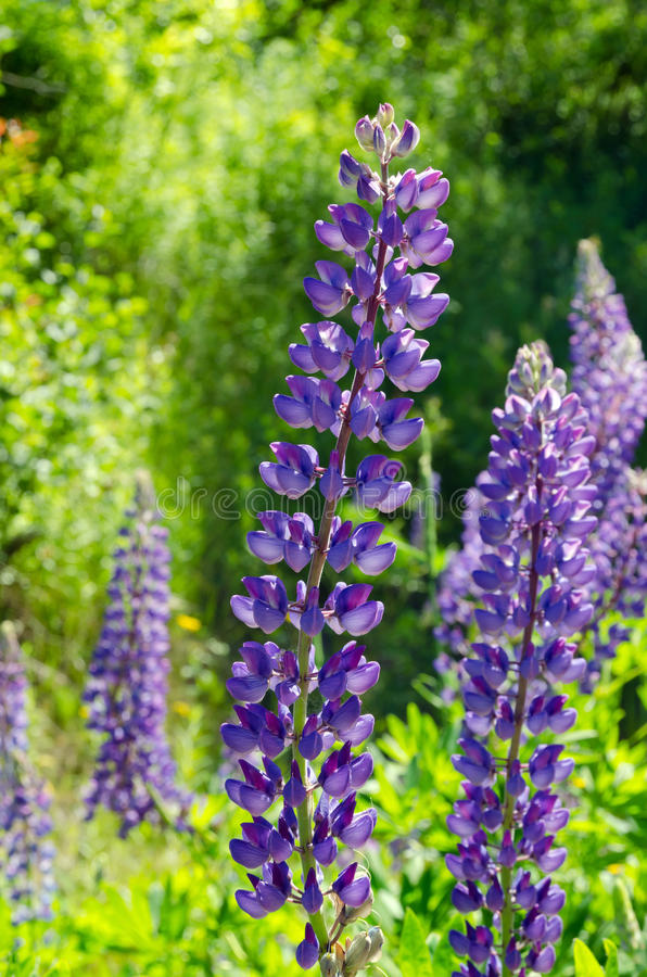 Purple and pink lupins stock photo