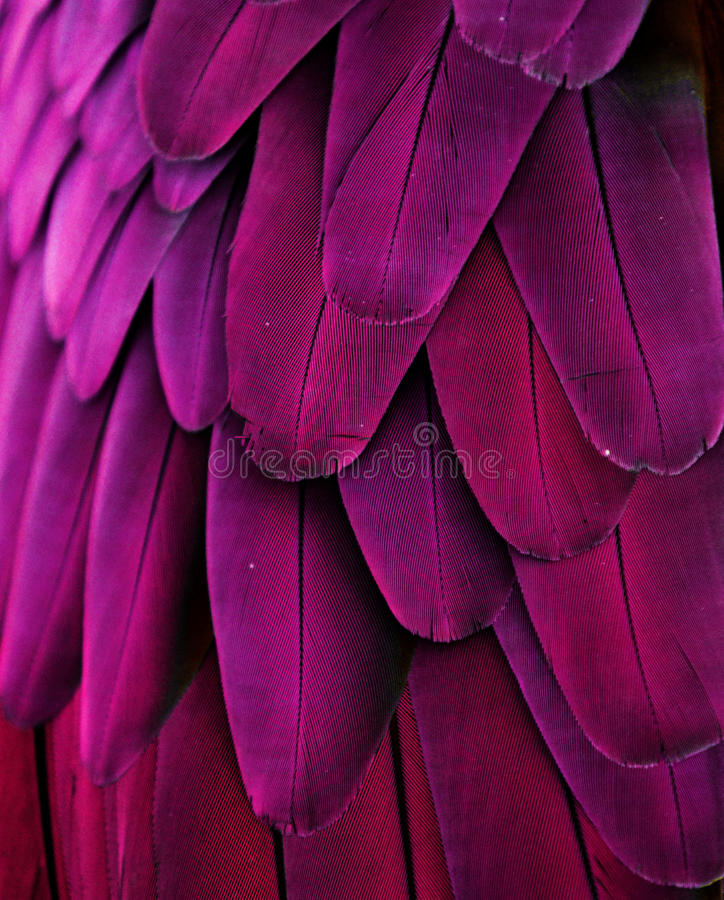 Purple/Pink Macaw Feathers stock image