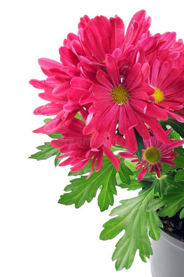 Purple pink Mums (Chrysanthemums) stock images