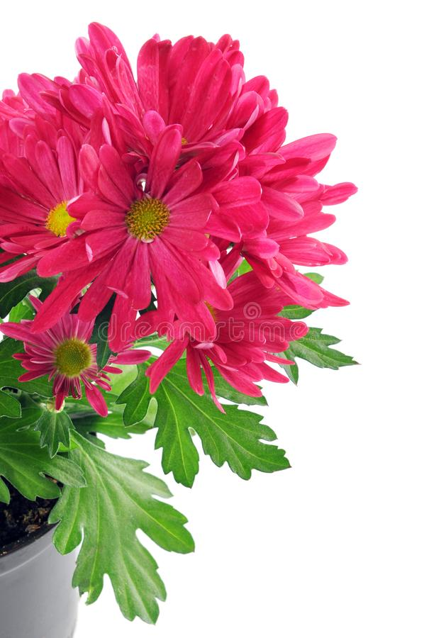 Purple pink Mums Chrysanthemums on isolated white background royalty free stock photo