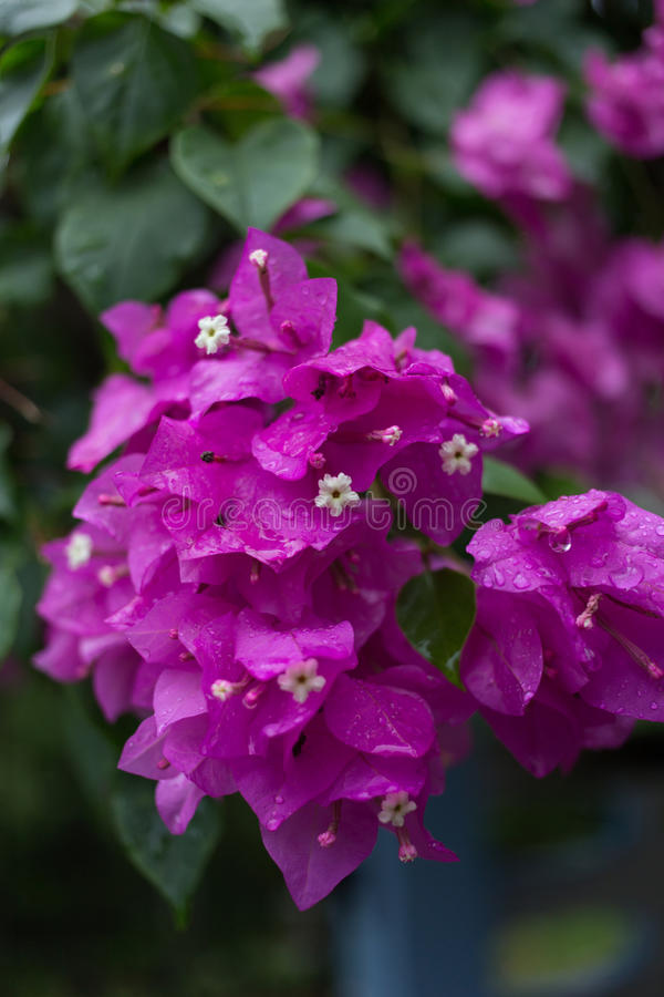 Purple pink Paper Flower. On plant stock photography
