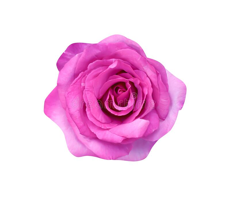 Purple or pink rose flower blooming top view  isolated on white background and clipping path. Close up Purple or pink rose flower blooming top view  isolated on royalty free stock images