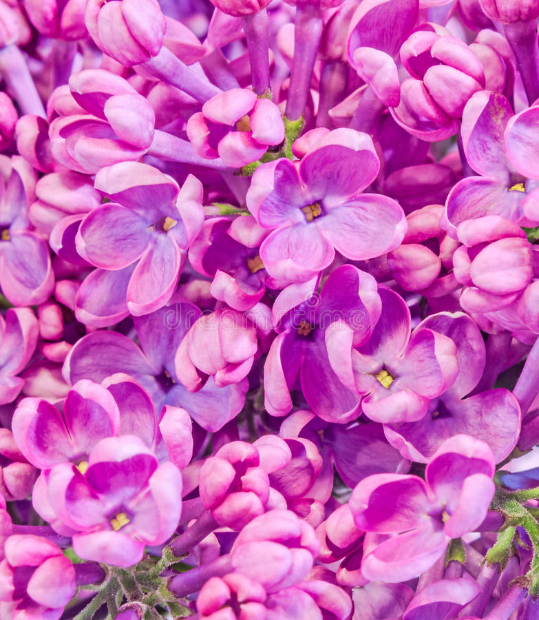Purple, pink Syringa vulgaris (lilac or common lilac) flowers, close up, texture background.  royalty free stock photos