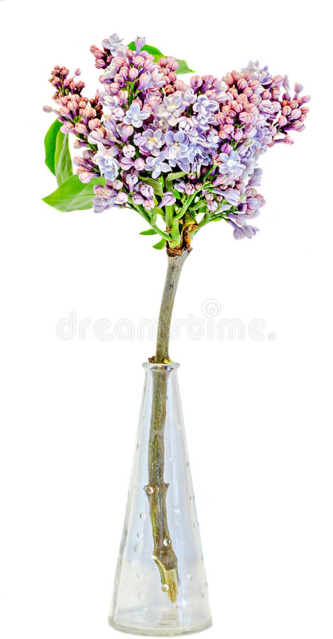 Purple, pink Syringa vulgaris (lilac or common lilac) flowers in a transparent vase, close up, isolated, white background.  stock photo