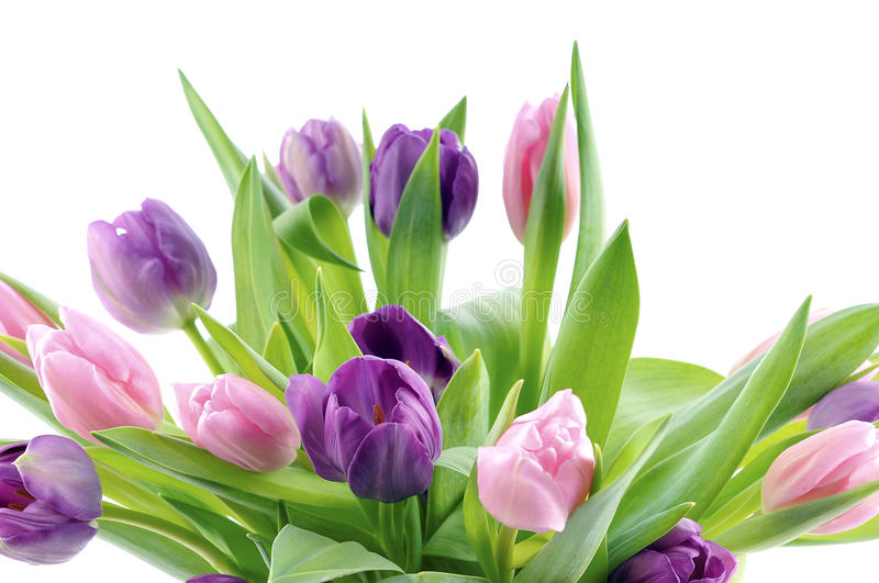 Purple and pink tulips royalty free stock photos