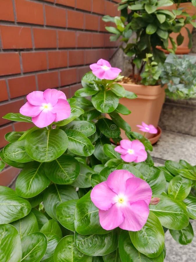 Purple Pink Watercress royalty free stock image