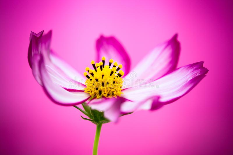 """Purple and pink wild flower """"Wild Cosmos Flower"""" Cosmos bipinnatus blooming during Spring Summer closeup macro photo isolated. Purple and pink wild stock images"""