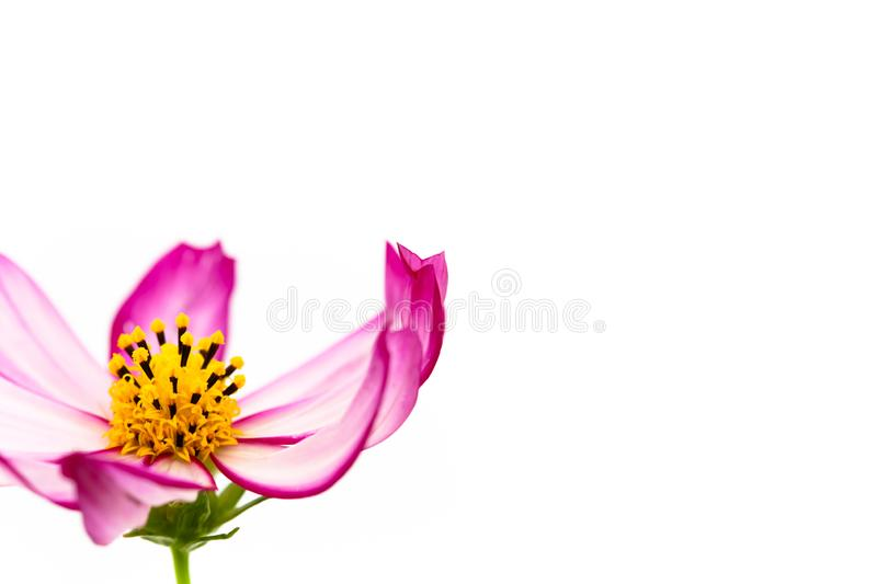 "Purple and pink wild flower ""Wild Cosmos Flower"" Cosmos bipinnatus blooming during Spring and Summer closeup macro stock photography"