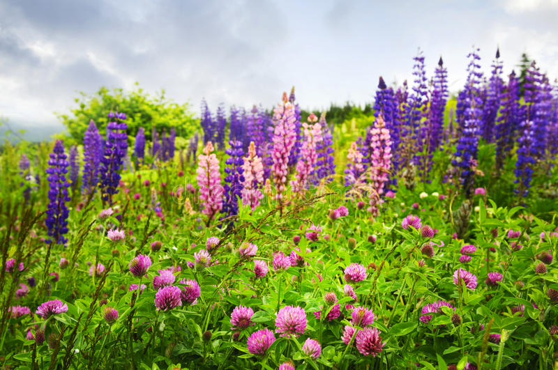 Purple and pink wildflowers in Newfoundland royalty free stock images