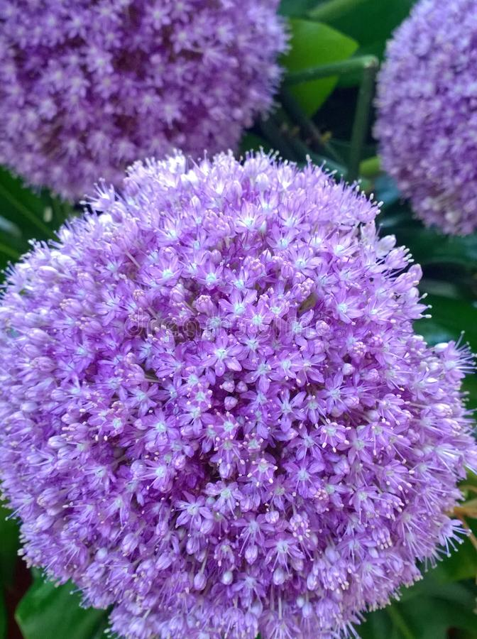 Purple Plant. Allium Latin for garlic, of the monocotyledonous genus that includes flowering plants such as the onion, garlic, scallion, shallot, leek, and royalty free stock photos