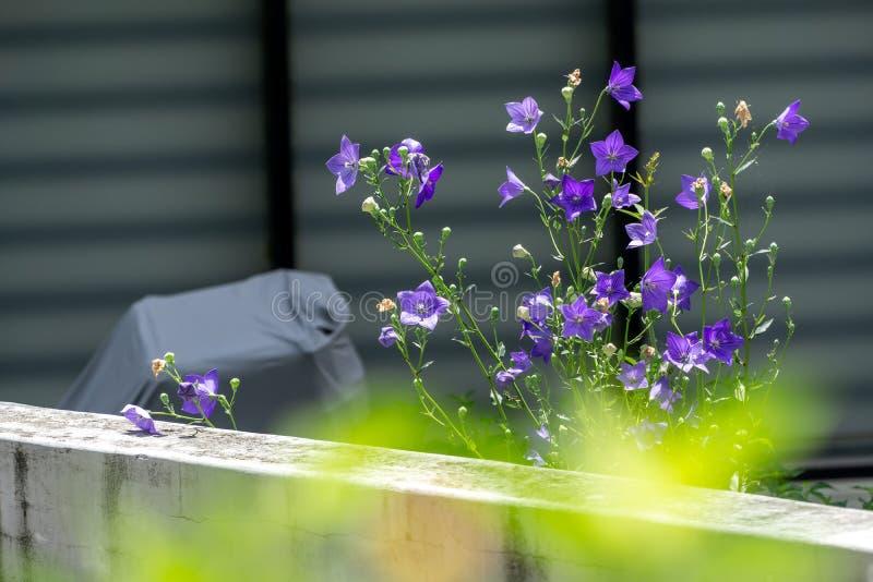 Purple platycodon flowers stock image