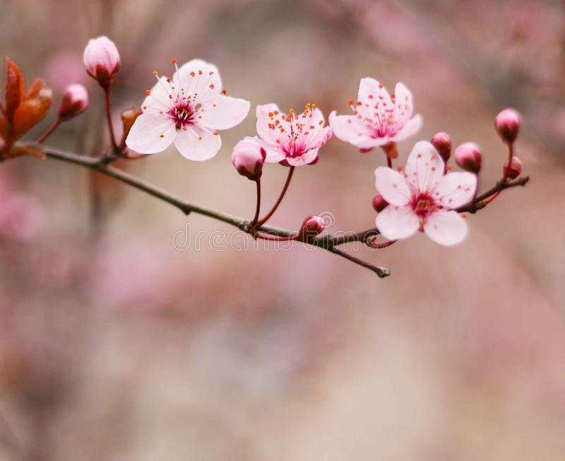 Purple plum flower royalty free stock photography
