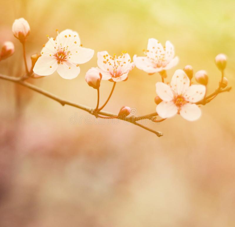 Purple plum flower stock photography
