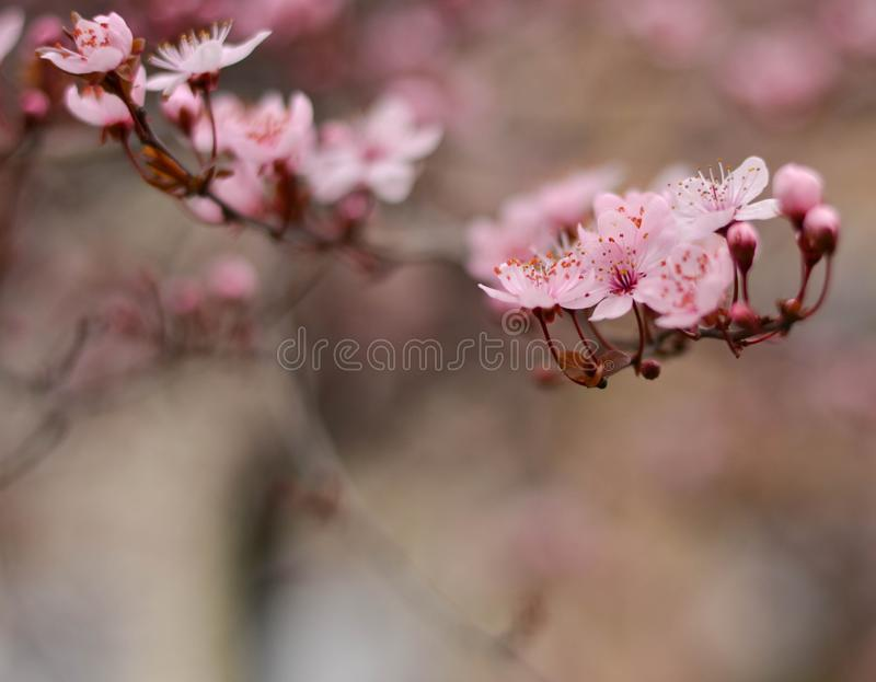 Purple plum flower close up royalty free stock images