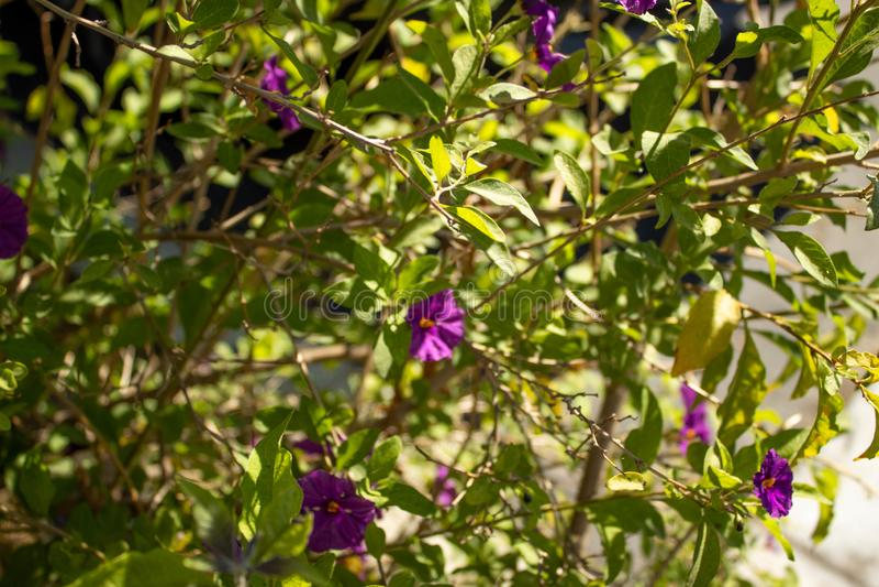 Purple potato bush growing in the sunlight stock photography
