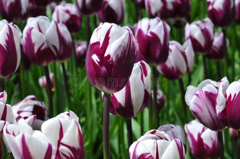 Purple Power of Spring. Dark purple and white, Rare species of Tulip colours. Netherlands is worldwide largest player in floriculture. This European country has royalty free stock image