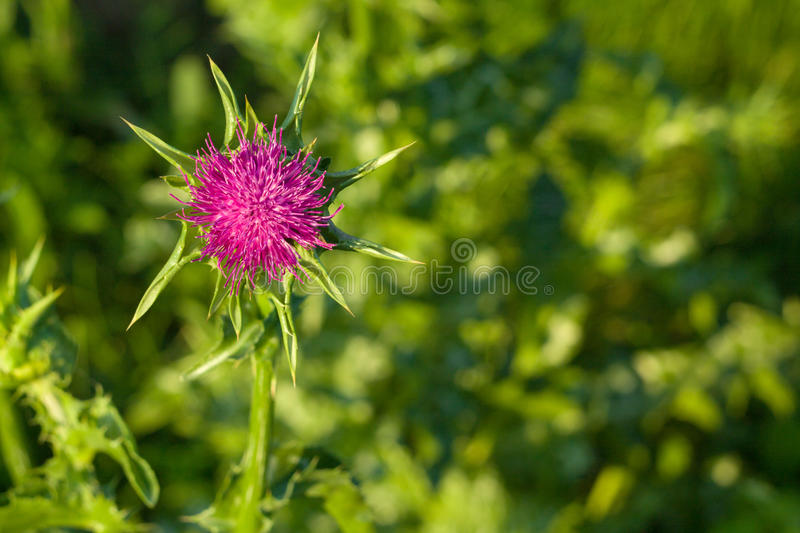 Purple prickly thistle flower royalty free stock photography