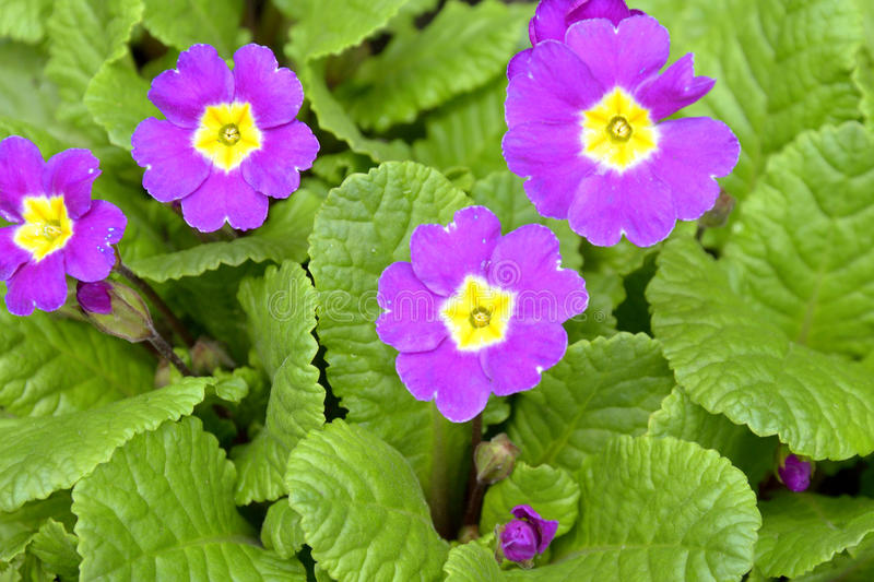 Purple primula flowers. In spring time royalty free stock image