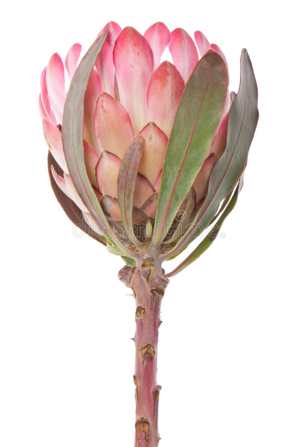 Purple protea, isolated on white royalty free stock image