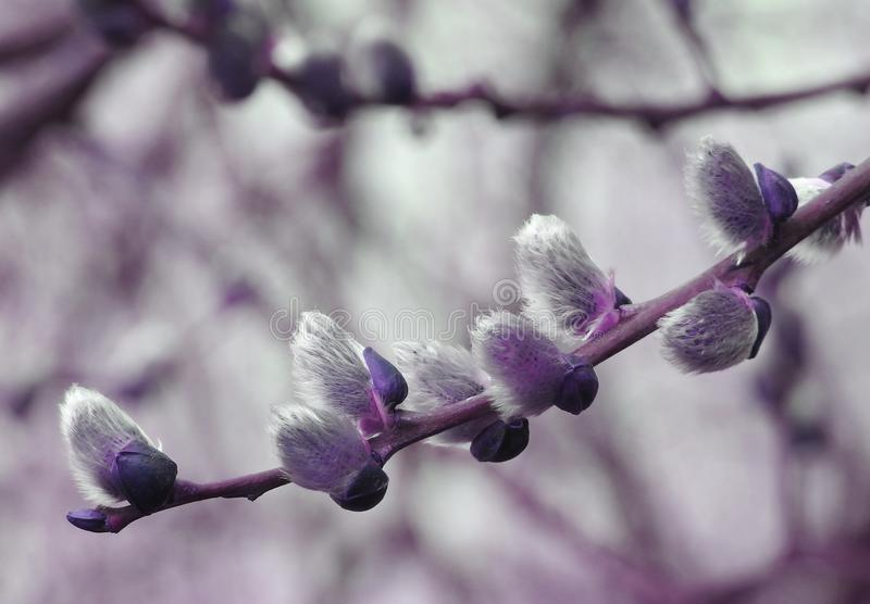 Purple willow. A close up photograph of willow buds in early Spring
