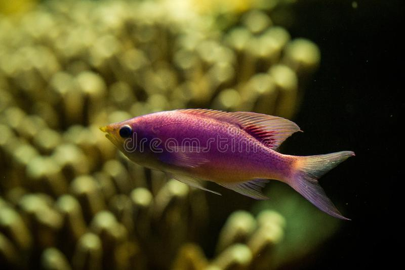 Purple Queen Anthias, Pseudanthias tuka, coral reef fish, Salt water marine fish, beautiful pink and yellow fish with tropical cor. Als in background, aquarium stock photography