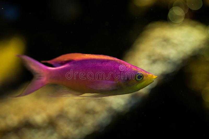 Purple Queen Anthias, Pseudanthias tuka, coral reef fish, Salt water marine fish, beautiful pink and yellow fish with tropical cor. Als in background, aquarium royalty free stock image