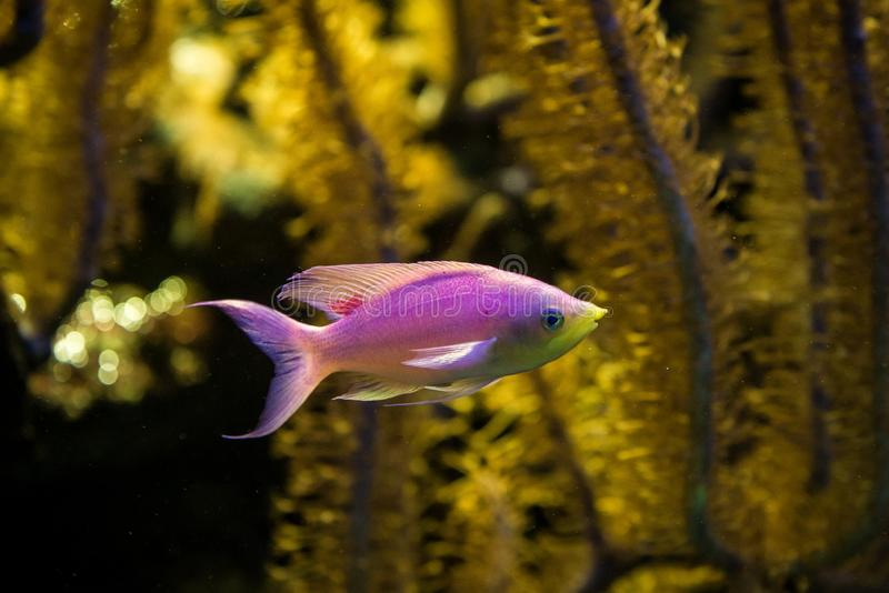 Purple Queen Anthias, Pseudanthias tuka, coral reef fish, Salt water marine fish, beautiful pink and yellow fish with tropical cor. Als in background, aquarium royalty free stock photo